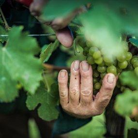 Weinlese am Weingut Donabaum © Florian Schulte