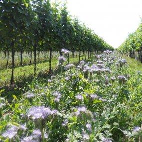 Blühender Weingarten von Weingut Frischauf