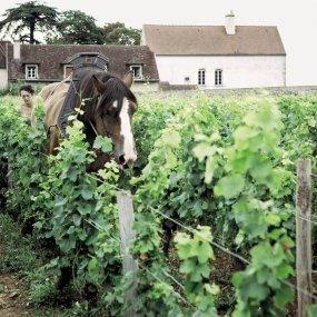 Bertille Arlaud beim Pflügen des Weingartens mit dem Pferd © Domaine Arlaud Pere et Fils