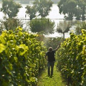 Im Weingarten © Weingut Kühn Peter Jacob