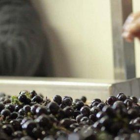 Sorgfältige Verarbeitung der Trauben © Maison Leroy