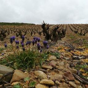 Im Weingarten © Bodega Miguel Merino
