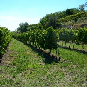 Der Weingarten © Az. Agr. Nardello