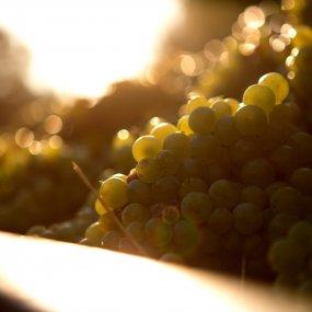 Weintraube © Az. Agr. Perrone