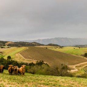 Weinberge von Santa Barbara © Kevin Wynn