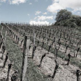 Im Weingarten © Weingut Stahl Christian