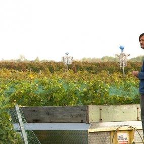 Bei der Ernte © Weingut Velich Heinz