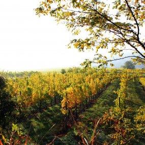 Weingarten im Herbst © Weingut Weszeli Davis