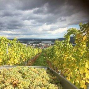 Bei der Weinlese © Weingut Zöller Alexander