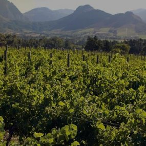 Weingärten von Distell © Bergkelder