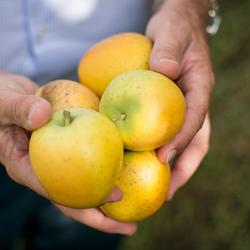 Alleskönner Apfel © Benjamin Pfitscher