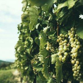 Handwerkliche Produktion im Weingarten ist beim Projekt Gross & Gross besonders wichtig!